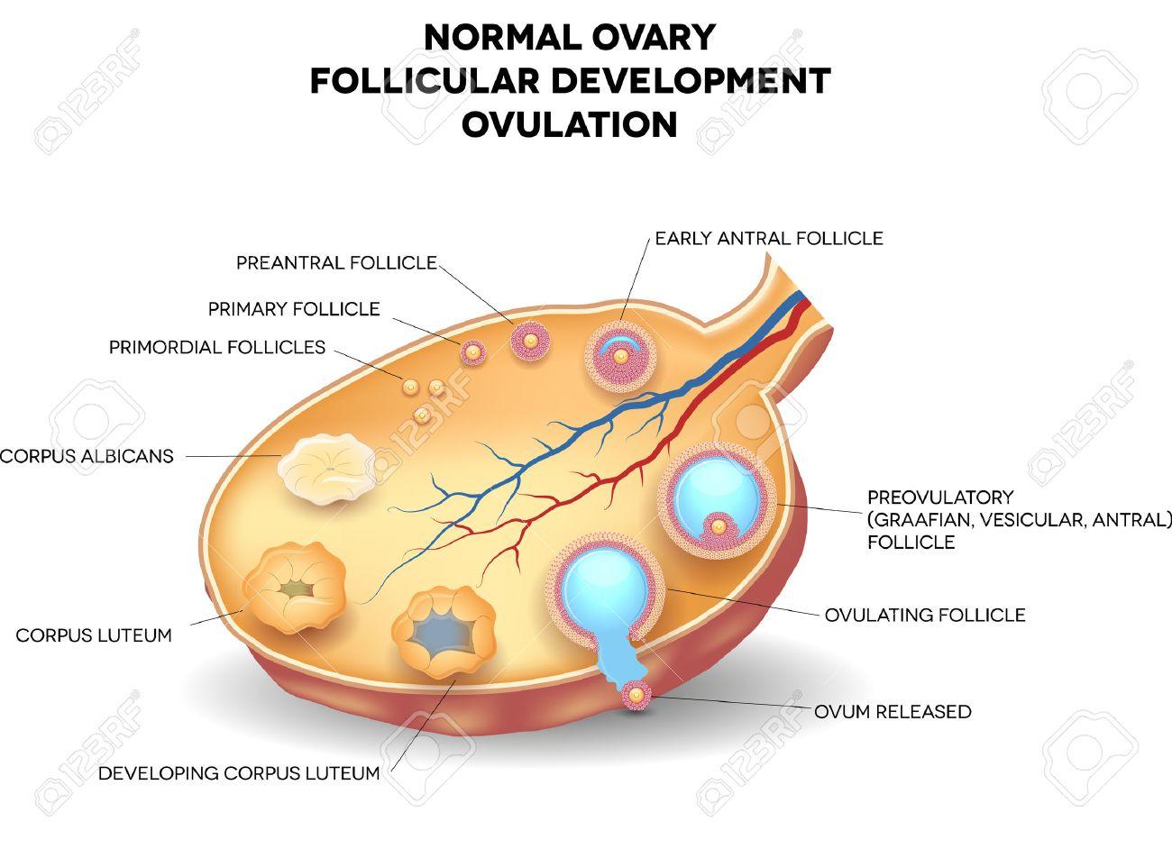 Normale Eierstock-, Follikelreifung Und Ovulation. Ovum Wird Aus Den ...