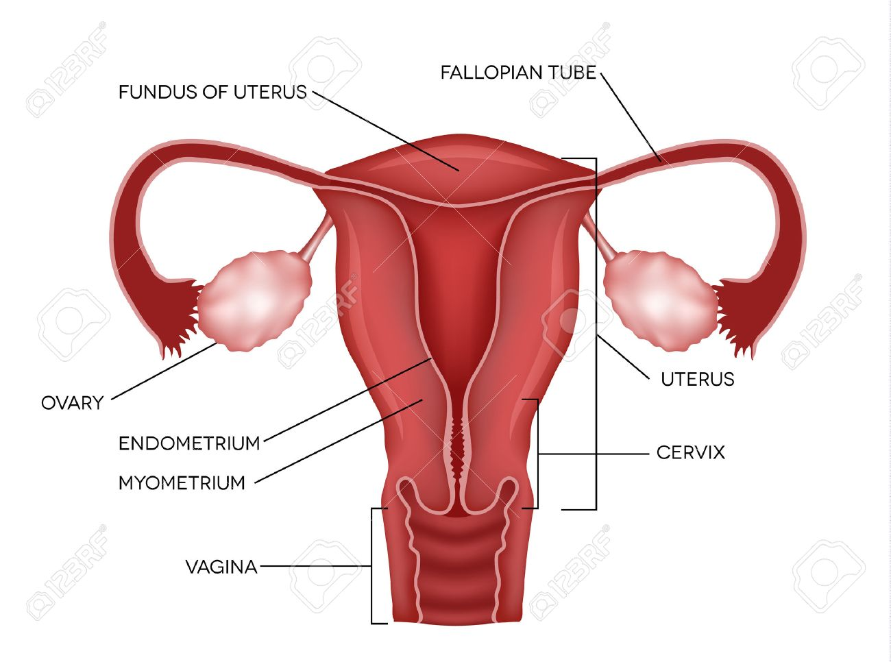 Uterus And Ovaries Organs Of Female Reproductive System Royalty