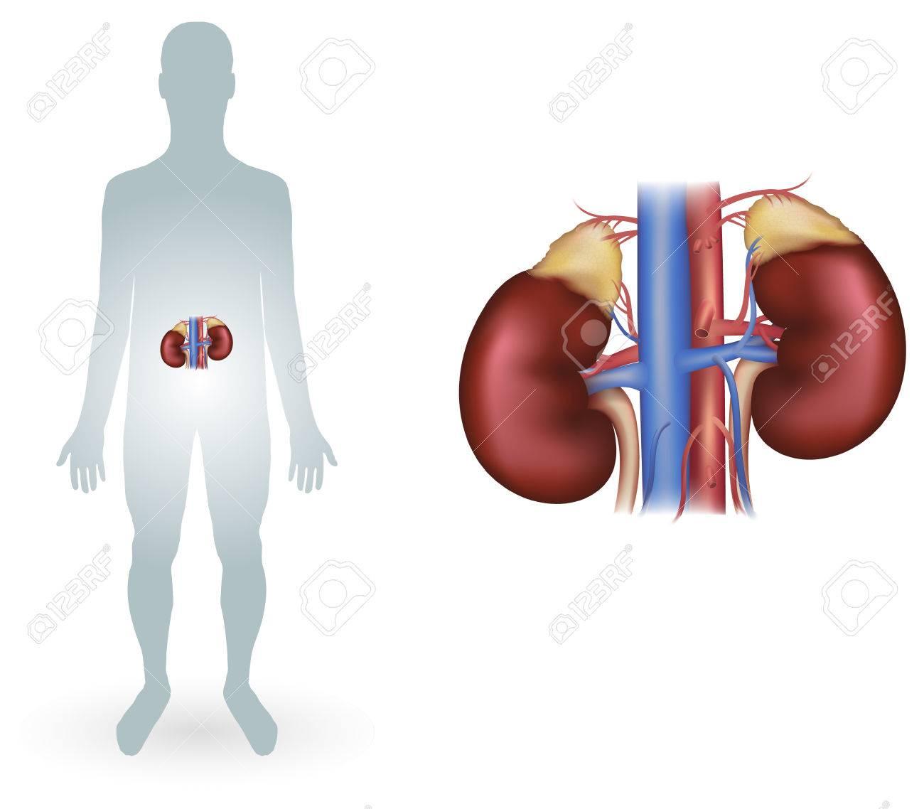 Riñones Humanos Diagrama Detallado De Anatomía Ilustraciones ...
