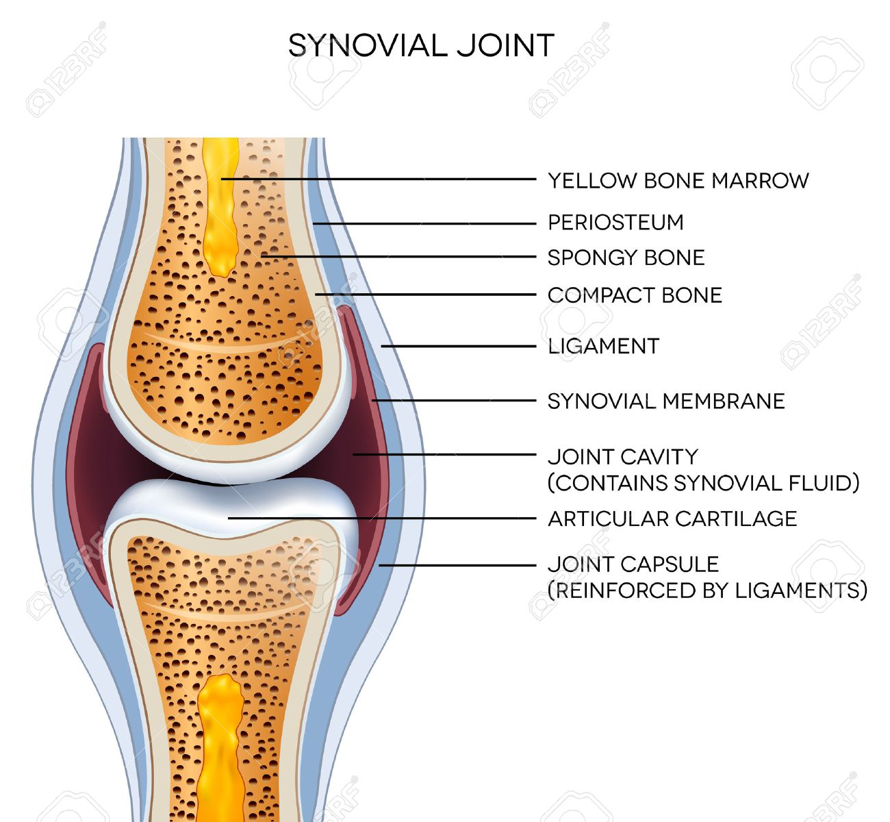 Labeled Joint Anatomy. Normal Joint Illustration. Royalty Free ...