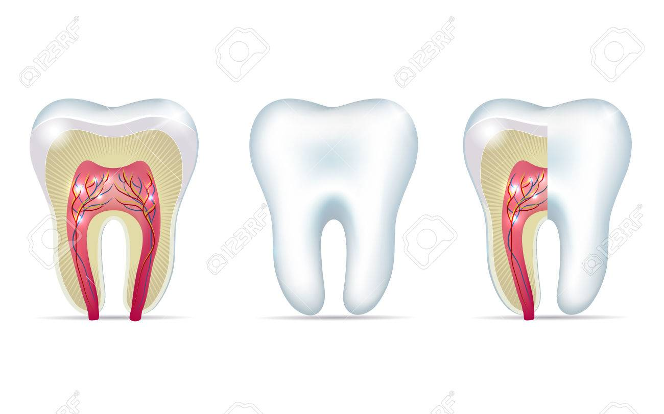 Three Tooth Anatomy Illustrations On A White Background Royalty Free ...