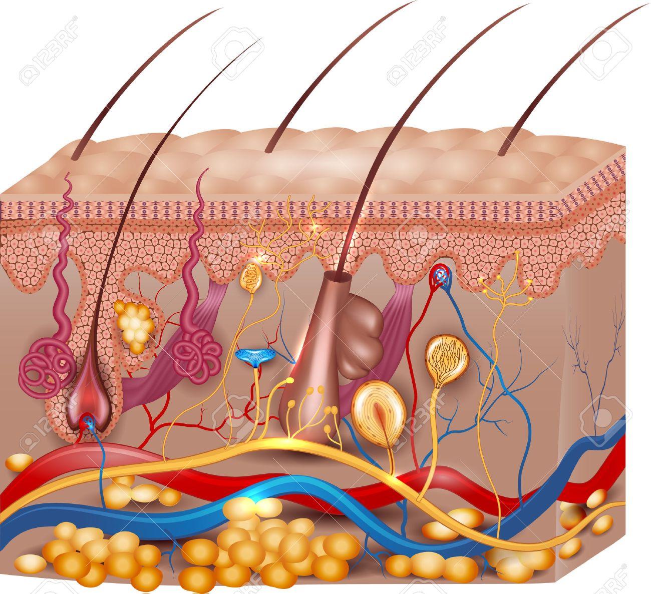 Hautanatomie. Detaillierte Medizinische Illustration, Schöne Helle ...