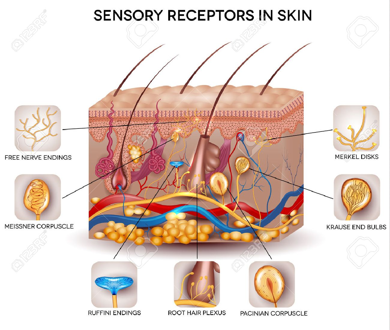 Beautiful Skin Diagram - Search For Wiring Diagrams •