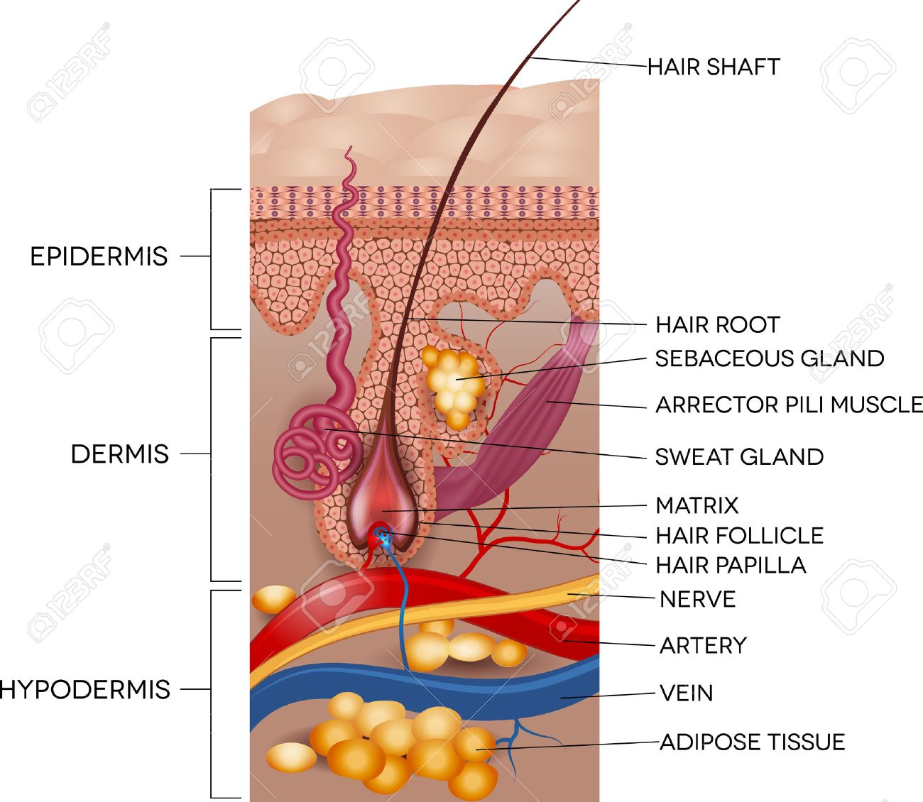 Labeled Skin And Hair Anatomy. Detailed Medical Illustration ...
