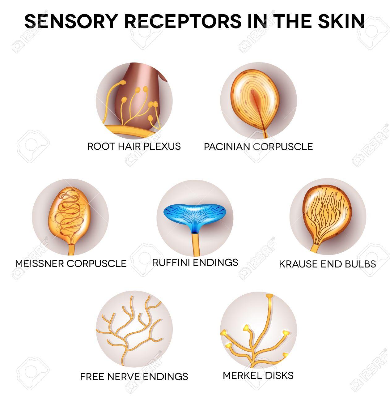 Anatomía De Los Receptores Sensoriales En La Piel. Forma Redonda ...