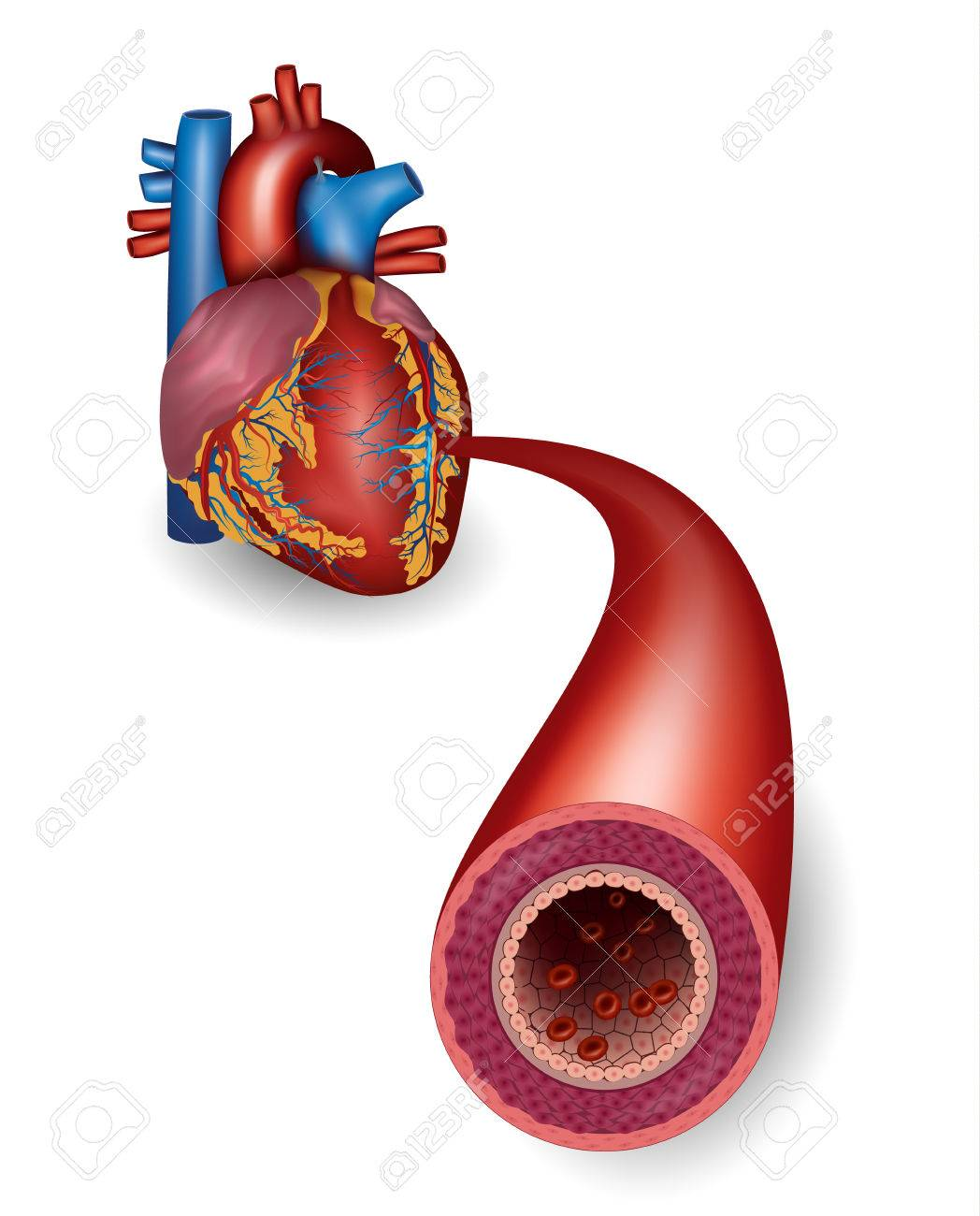 Healthy Artery And Heart Anatomy Royalty Free Cliparts Vectors And