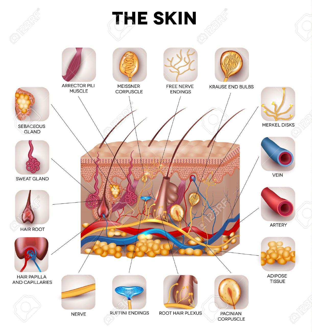 Anatomía De La Piel, Ilustración Detallada. Hermosos Colores ...