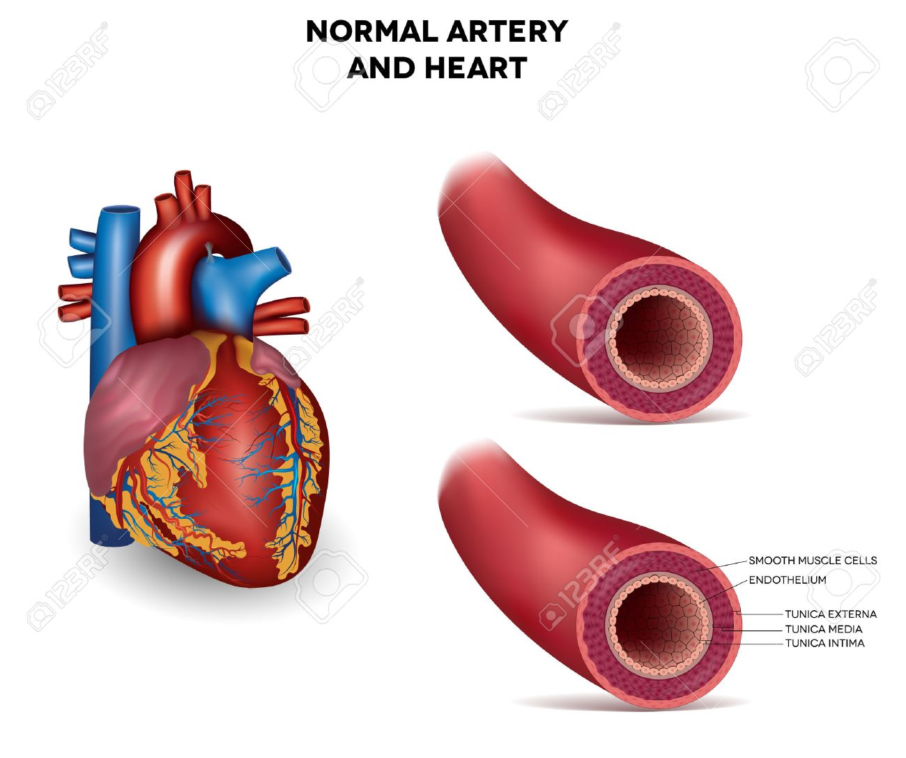Healthy Human Elastic Artery, Detailed Illustration Royalty Free ...