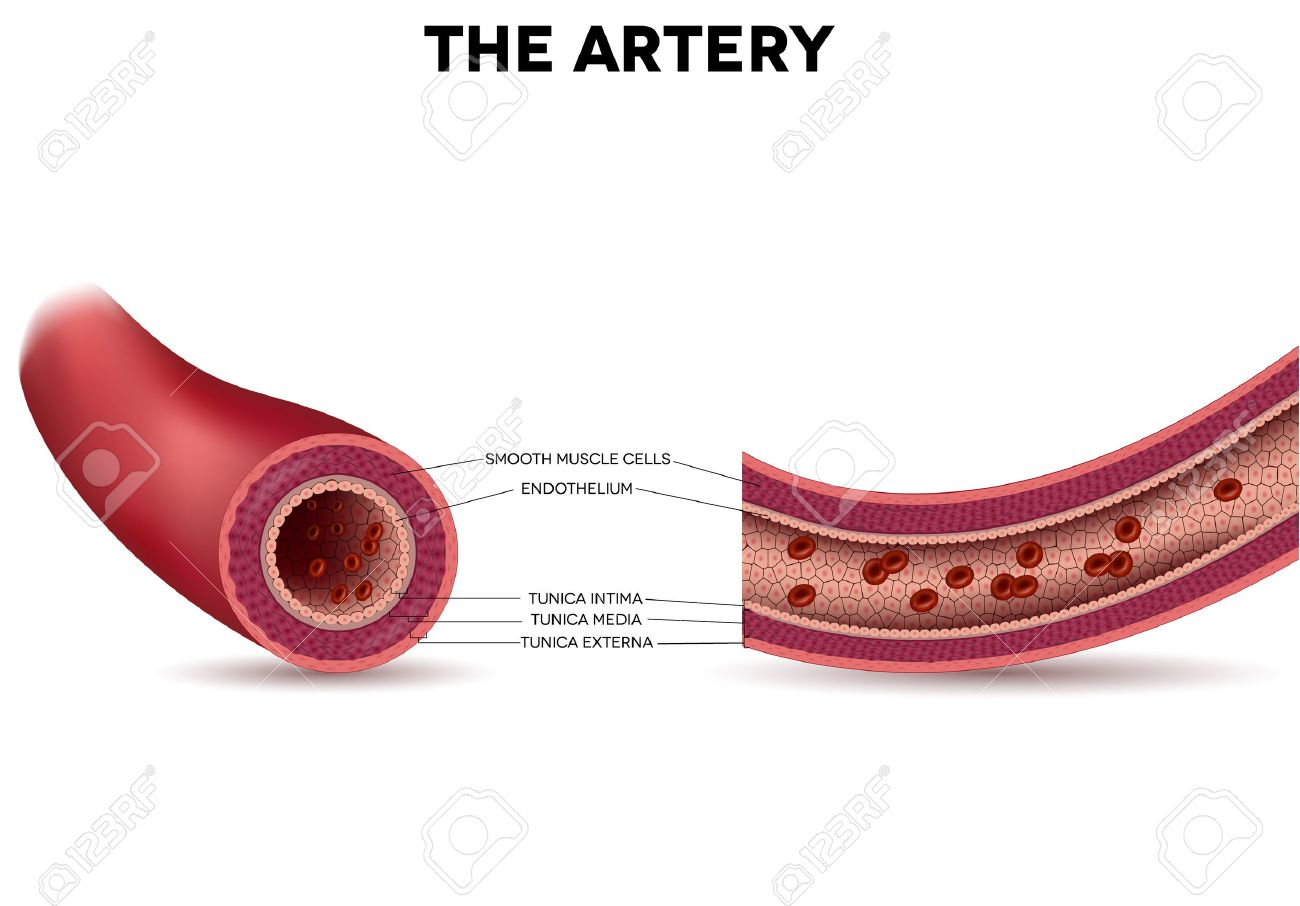 Healthy Artery Anatomy, Artery Layers Detailed Illustration ...