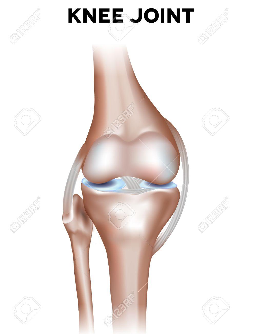 Rodilla Normal Anatomía Conjunta. Ilustración Junta Saludable ...