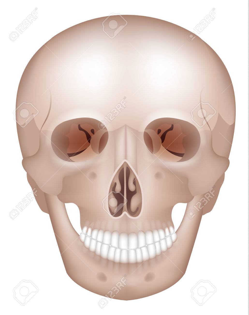 Human Skull Detailed Anatomy Frontal View, Isolated On White Royalty ...
