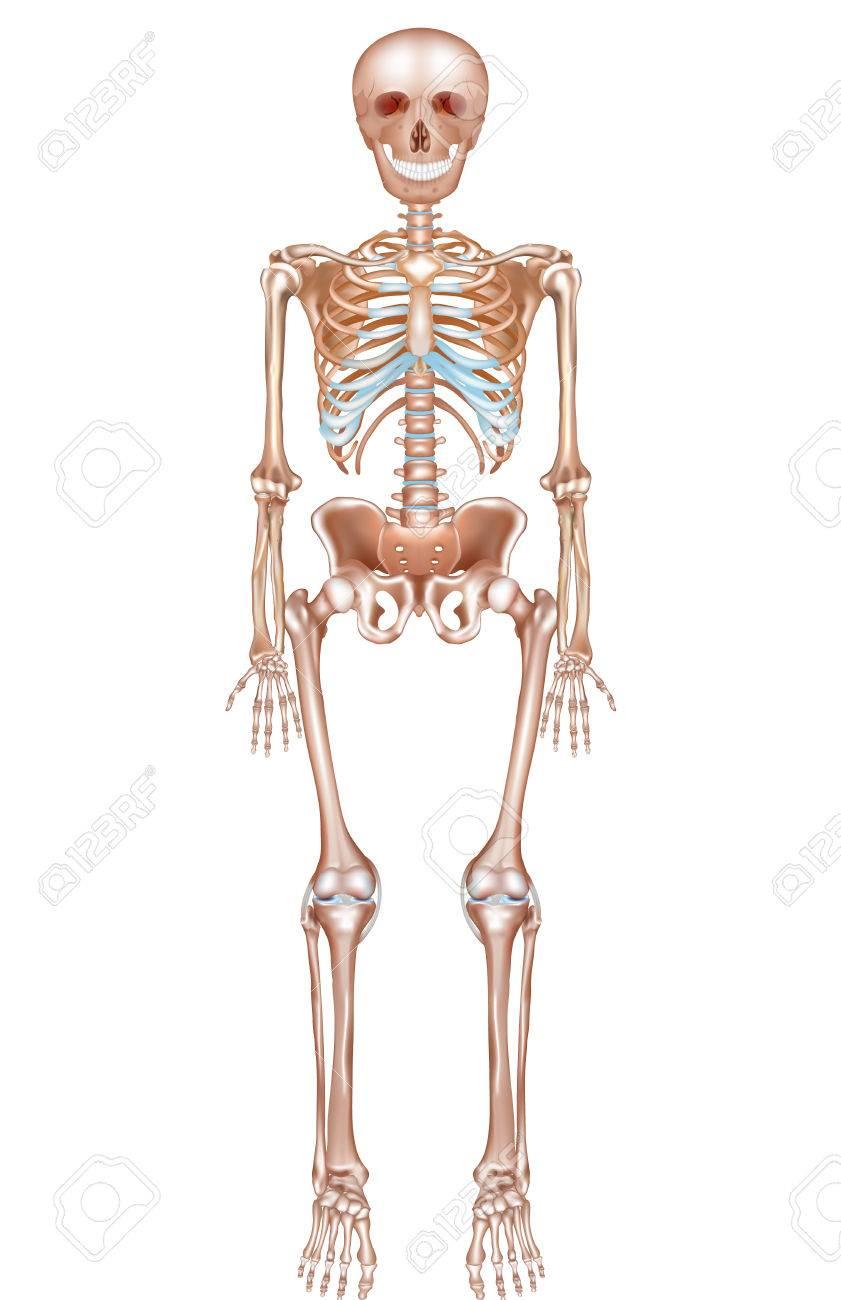 Esqueleto De La Anatomía Humana Se Detalla En Un Fondo Blanco ...