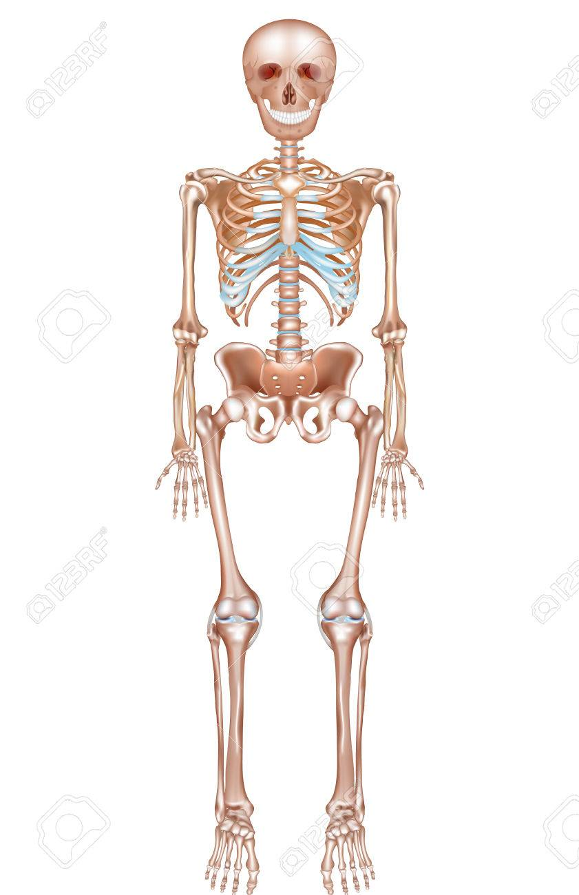 Human Skeleton Detailed Anatomy On A White Background Royalty Free