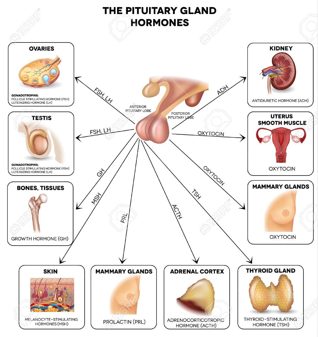 Hypophyse Hormone Und Im Körper Beeinflusst Organe. Schöne Bunte ...