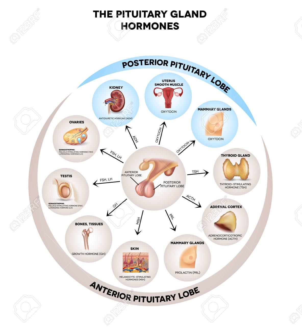Hypophyse Hormone Und Beeinflusst Organe Im Körper Ausgeschieden ...