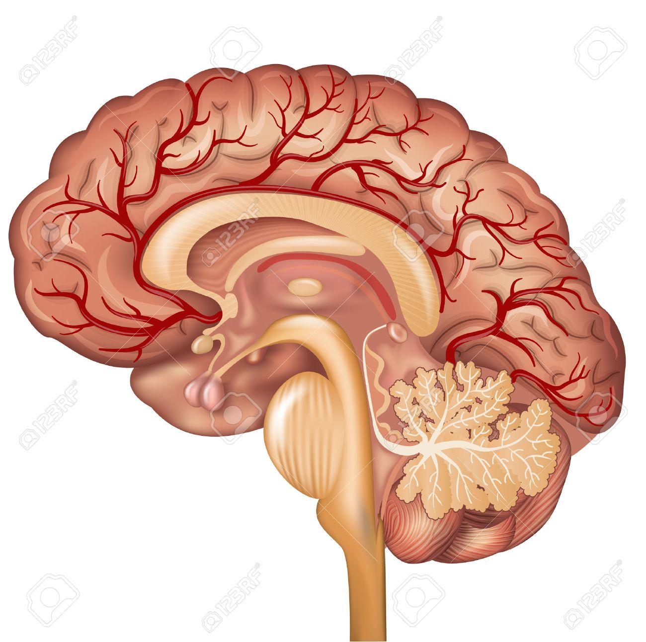 Cerebro Y Los Vasos Sanguíneos Del Cerebro, Hermosa Colorida ...