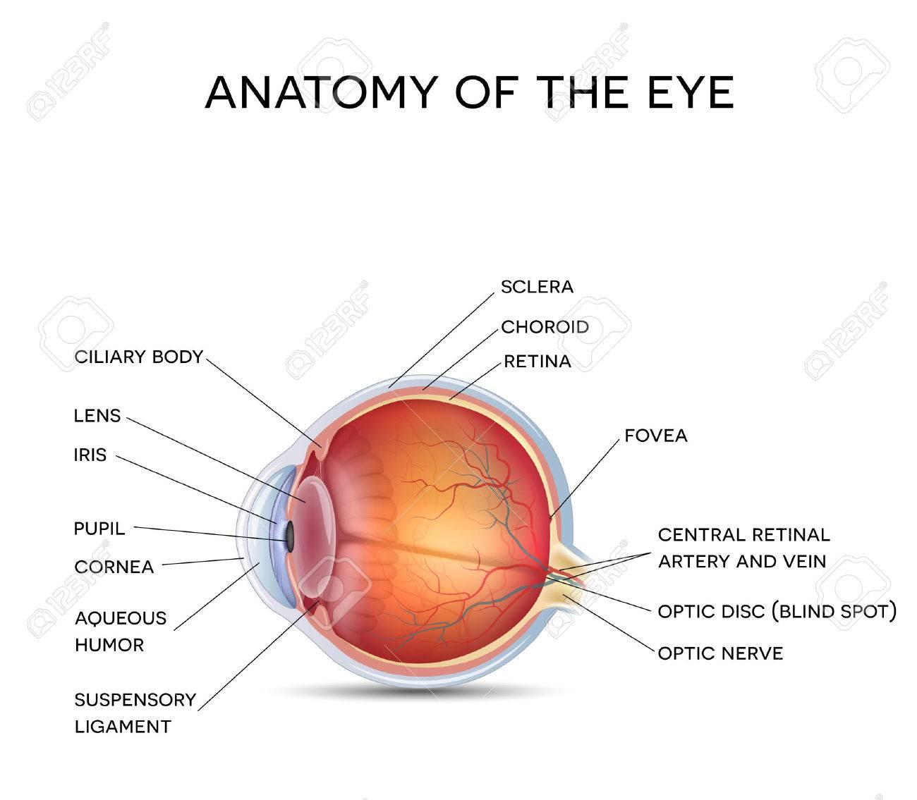 Anatomía Del Ojo Sano, Ilustración Detallada Ilustraciones ...