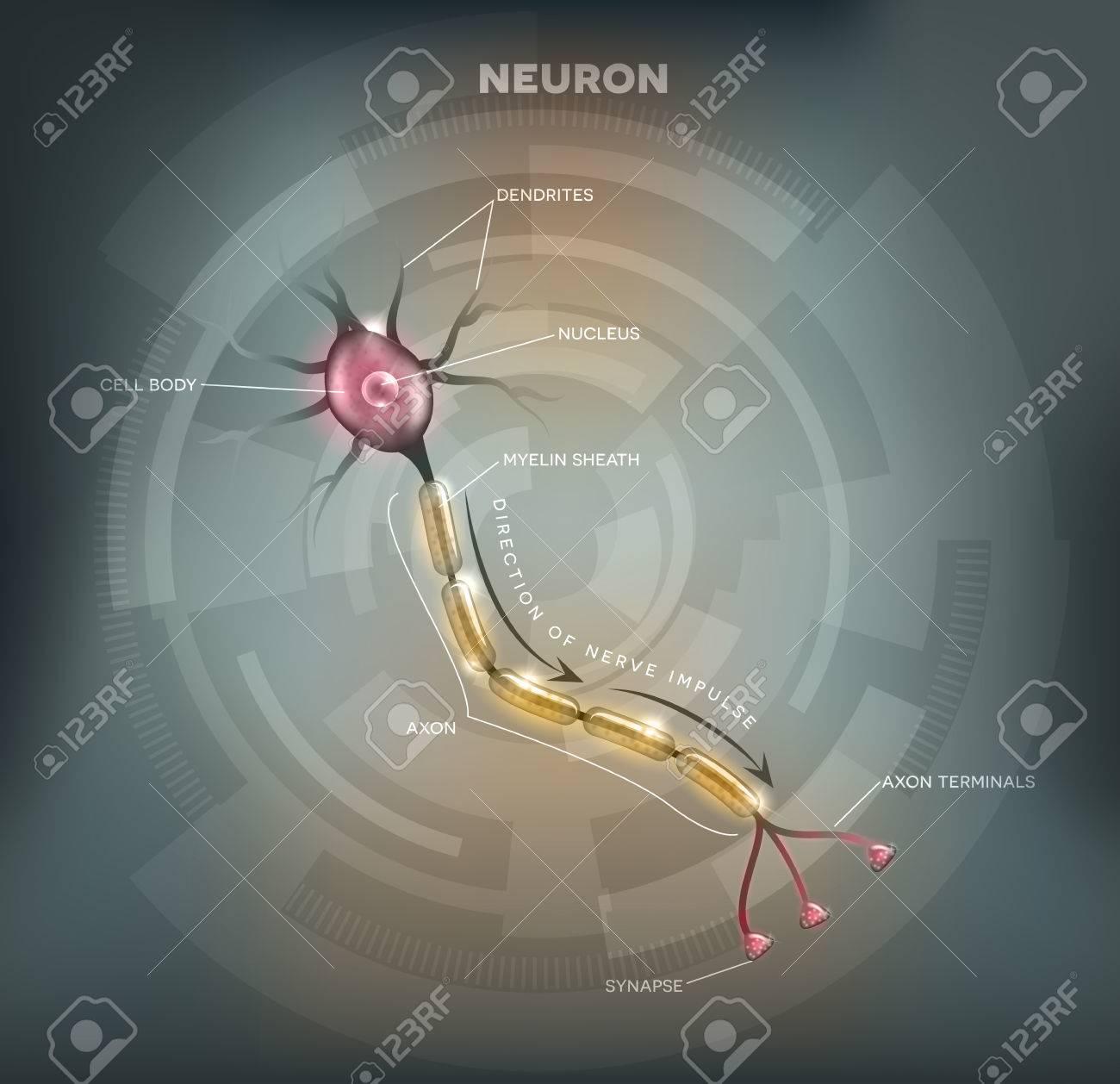 Diagrama De Marcado De La, Célula Nerviosa Neurona Que Es La Parte ...