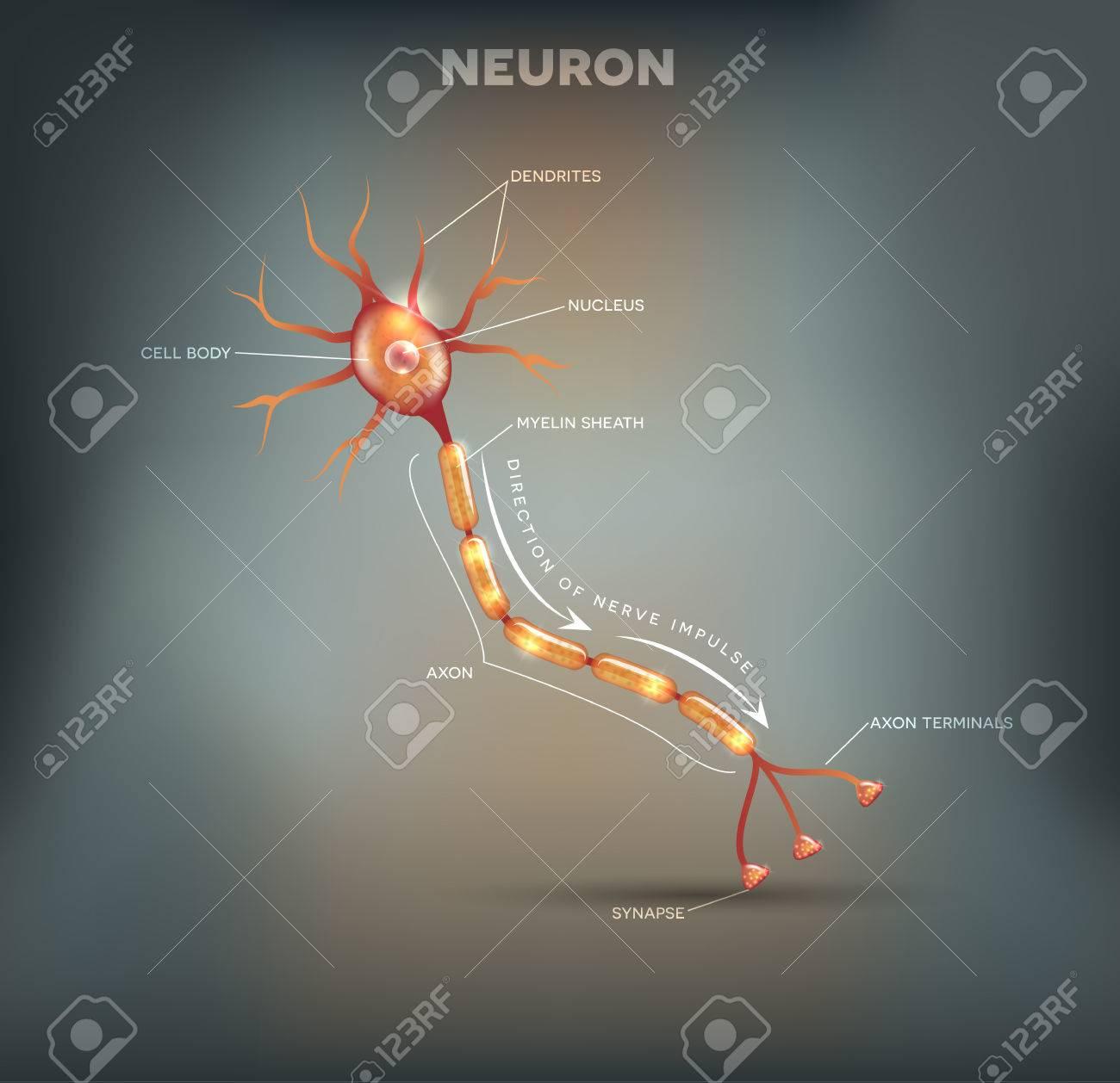 Neuron, Nervenzelle, Die Den Hauptteil Des Nervensystems Ist, Schöne ...
