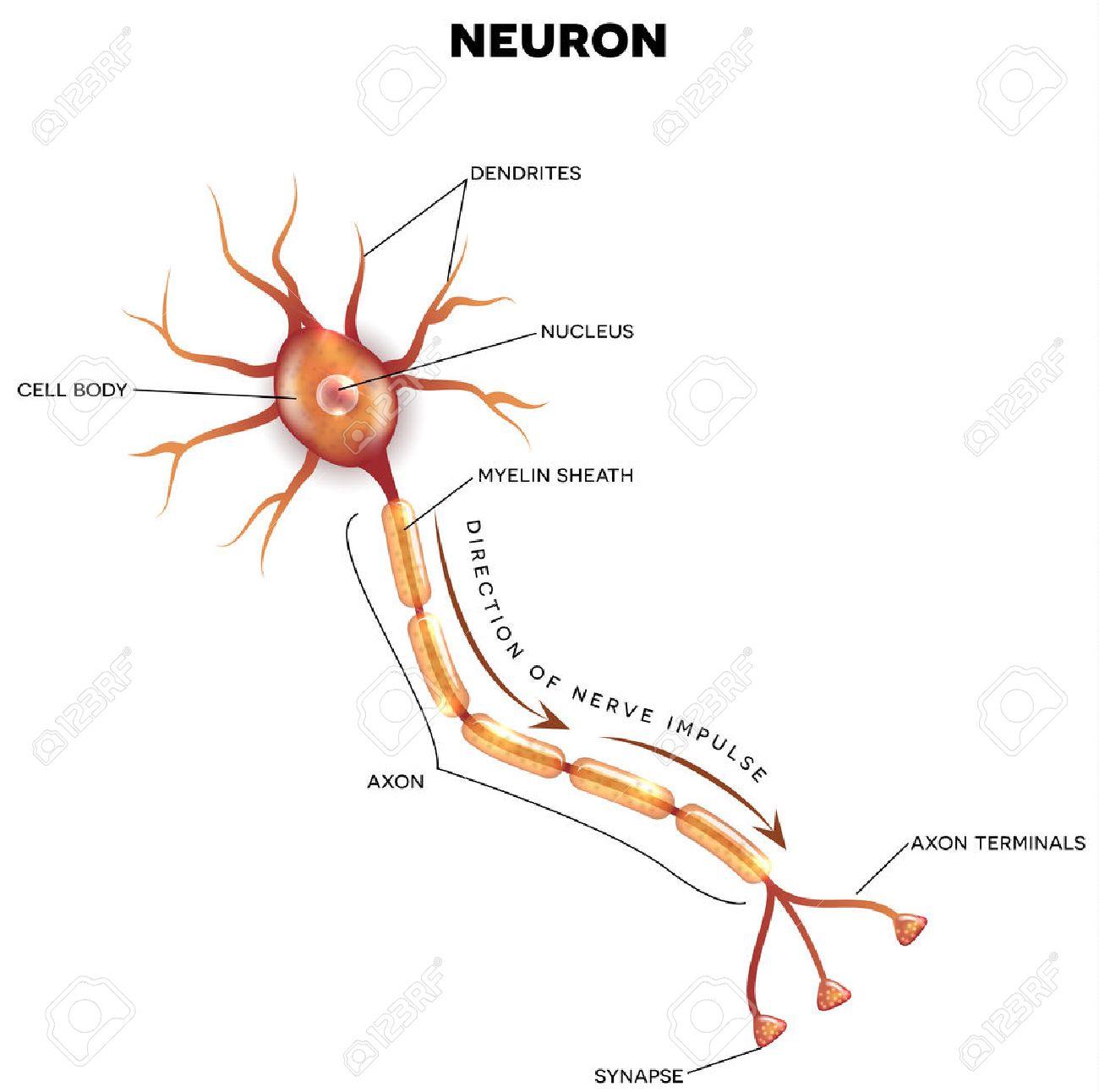 Diagramme étiqueté du neurone, cellule nerveuse qui est la partie principale du système nerveux. Banque d'images - 48129376