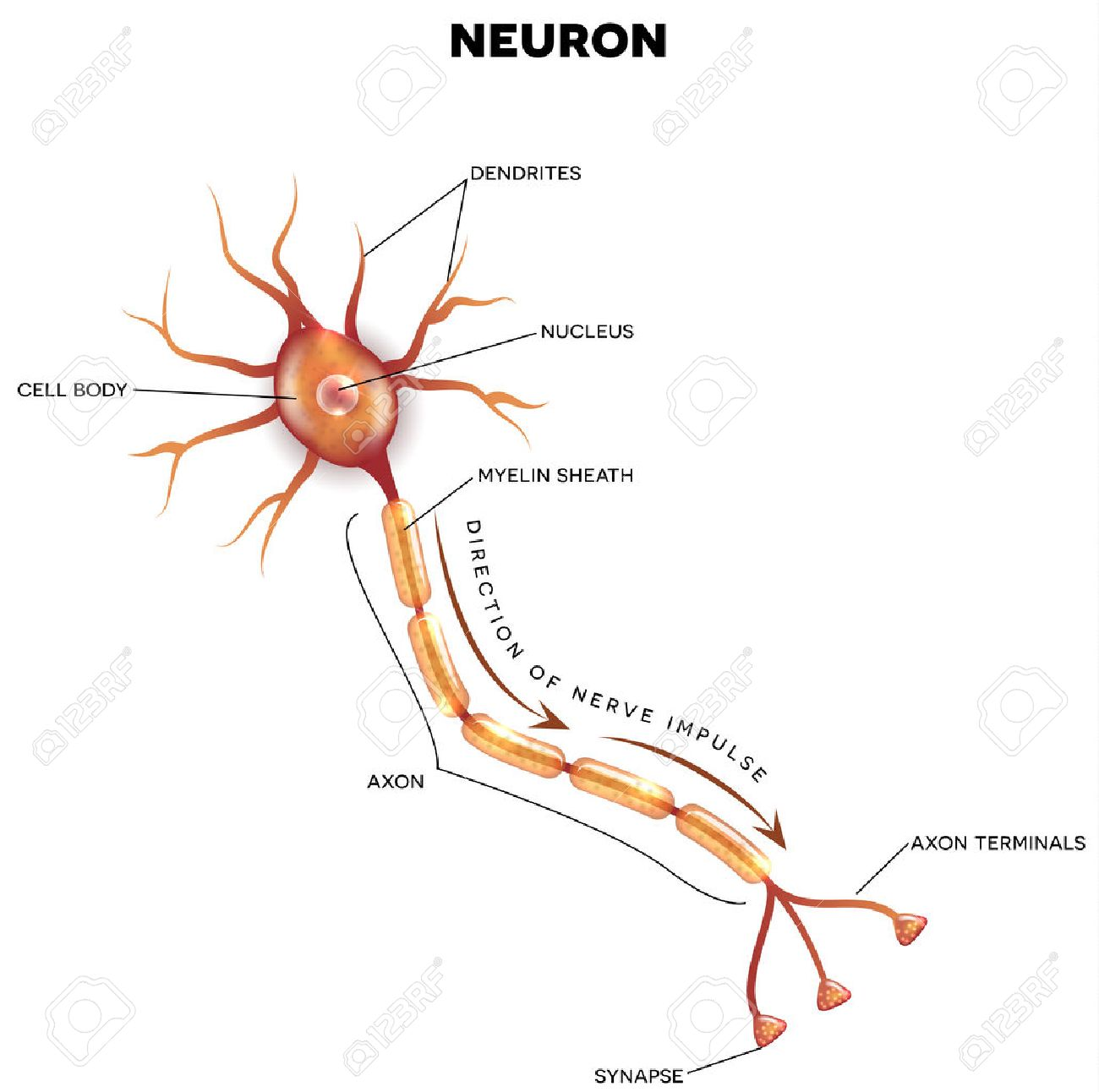 Neuron stock photos royalty free neuron images labeled diagram of the neuron nerve cell that is the main part of the nervous ccuart Choice Image
