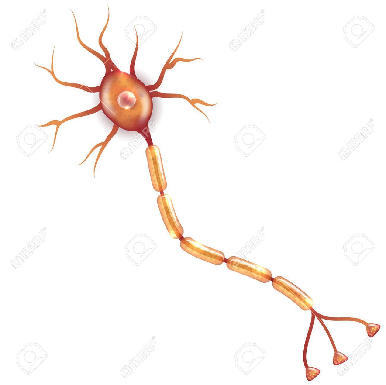 Neuron, Nervenzelle, Die Den Hauptteil Des Nervensystems Ist ...