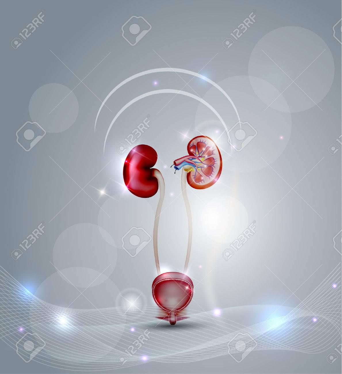 la vessie et des reins, coupe détaillée du rein et de la vessie. Belle fond abstrait avec des lumières. Banque d'images - 47999997