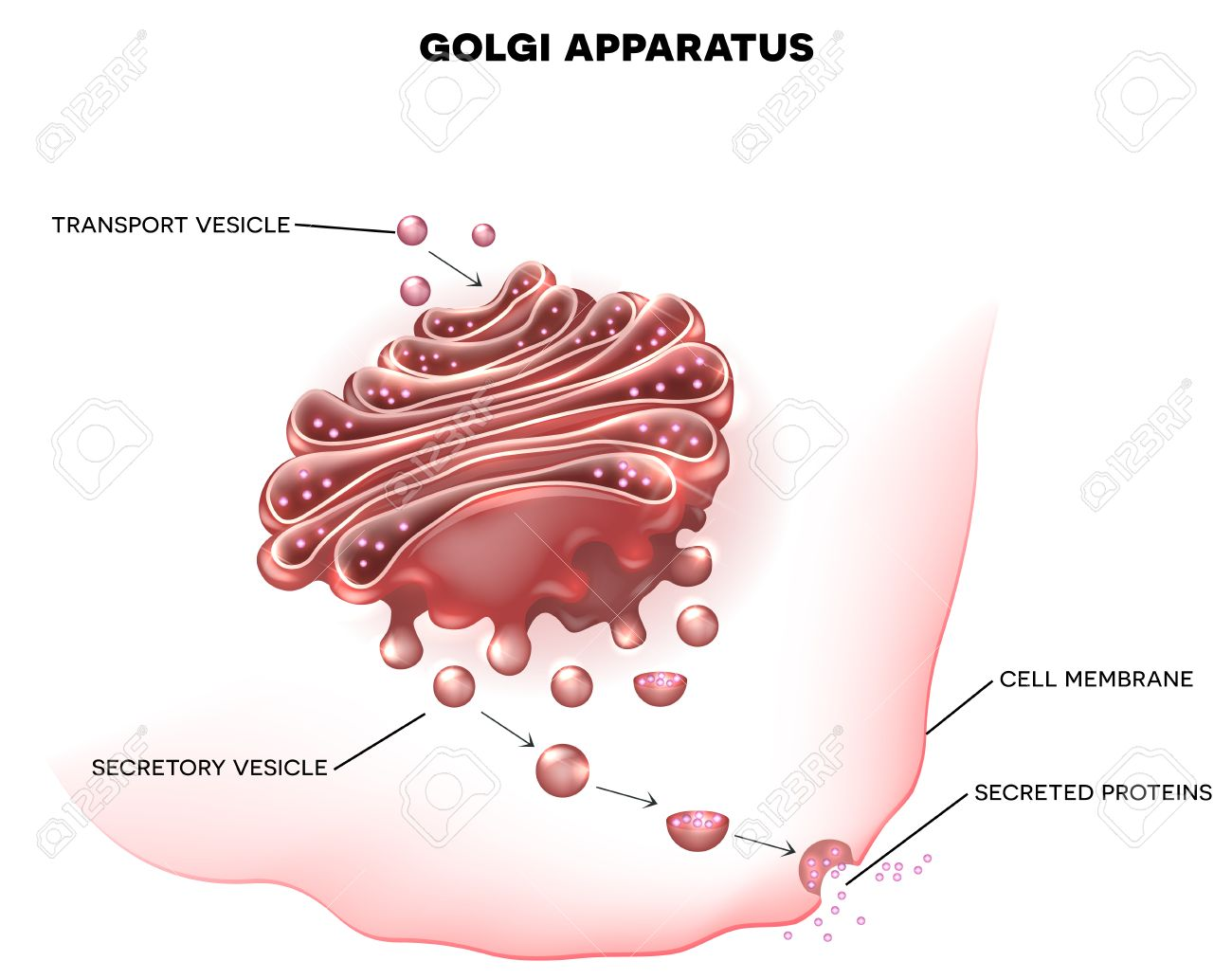 Aparato De Golgi Una Parte De La Célula Eucariota. Ilustración ...