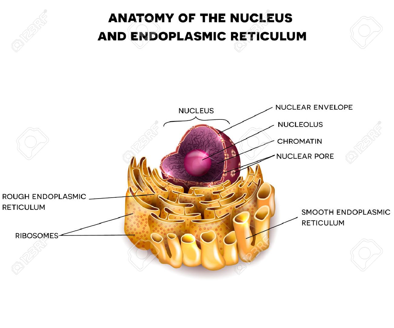 Cell nucleus and endoplasmic reticulum detailed anatomy with cell nucleus and endoplasmic reticulum detailed anatomy with description stock vector 50184110 ccuart Image collections