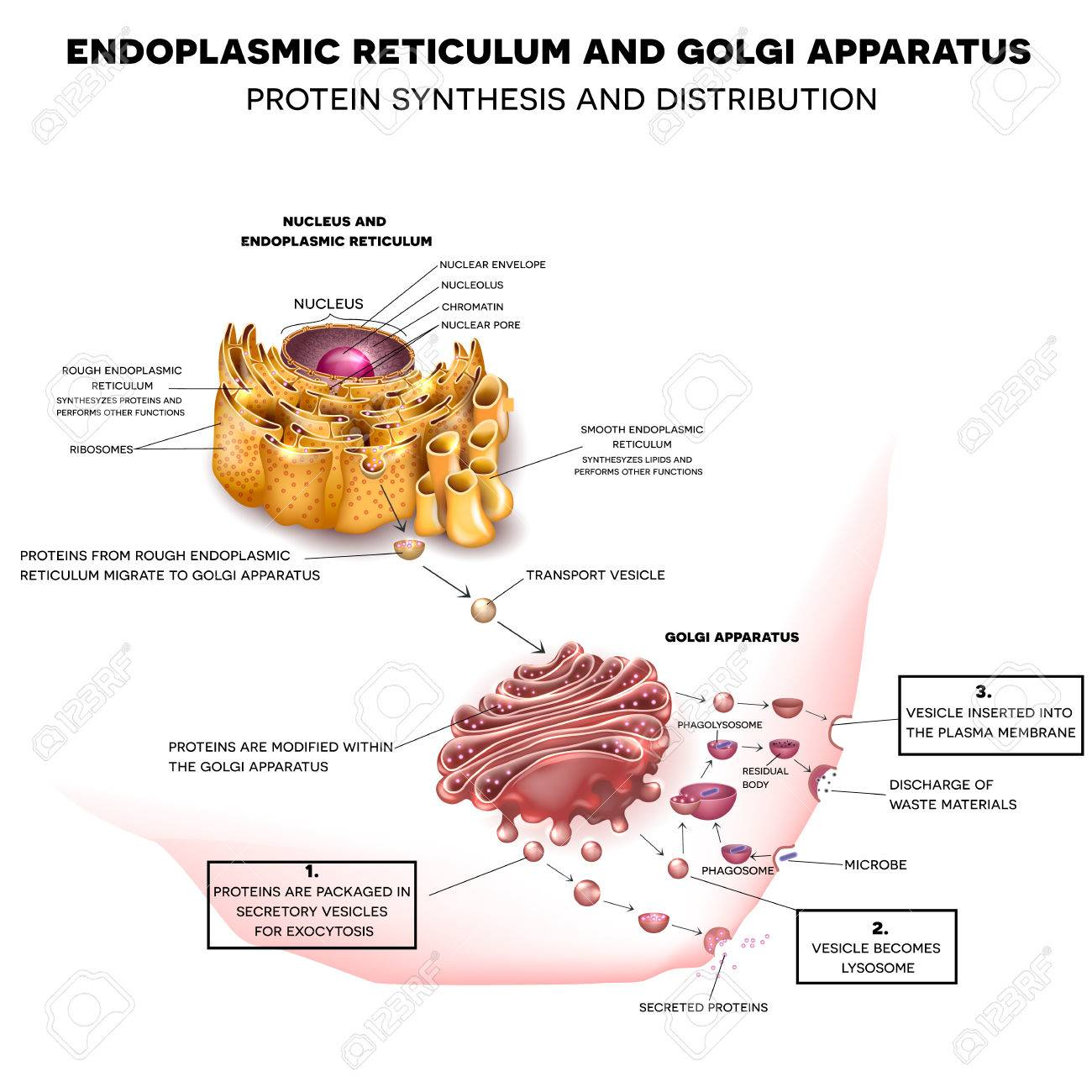 Endoplasmic reticulum and Golgi Apparatus. Protein synthesis and distribution detailed drawing Banque d'images - 50184111