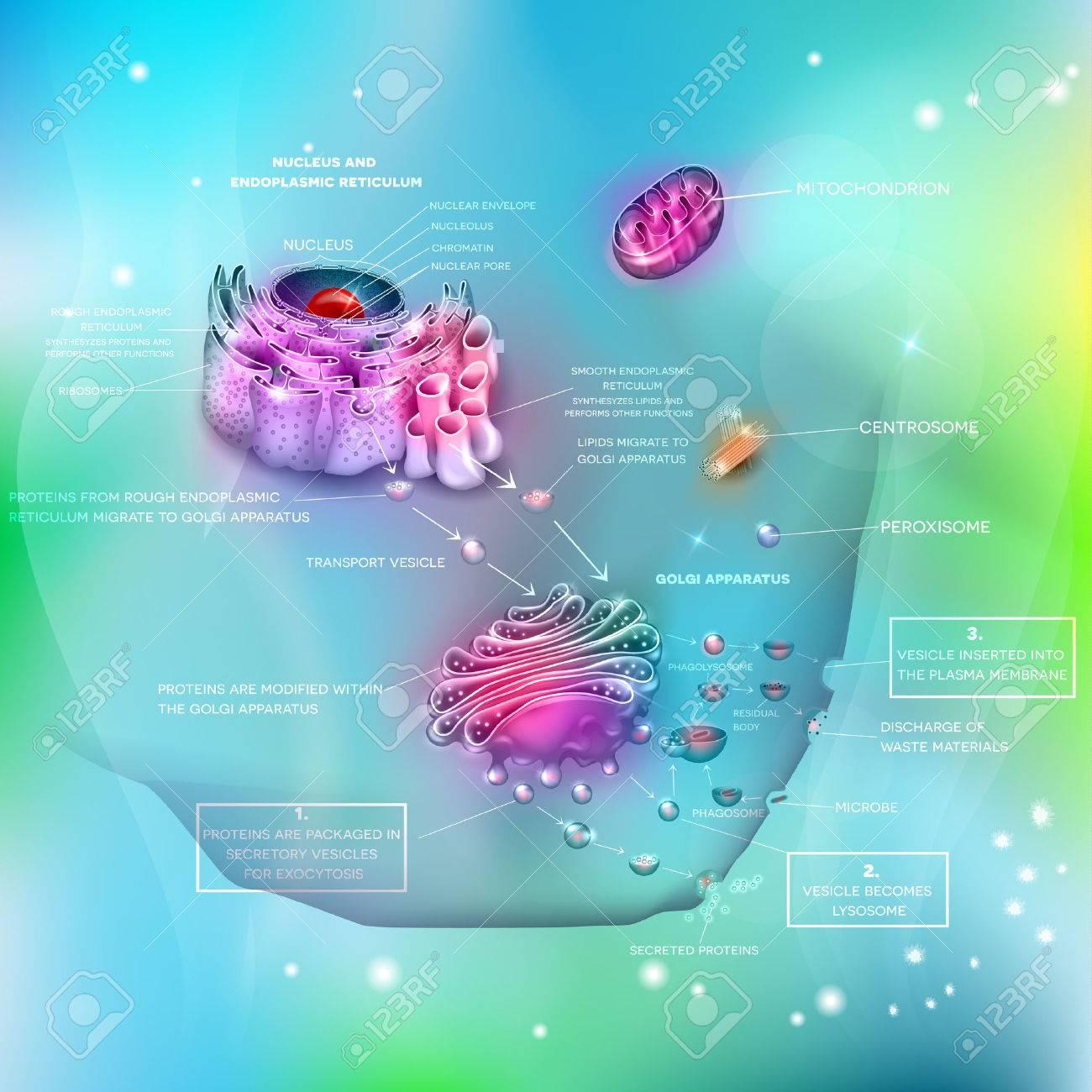 Cell Anatomy And Functions, Nucleus, Endoplasmic Reticulum, Golgi ...