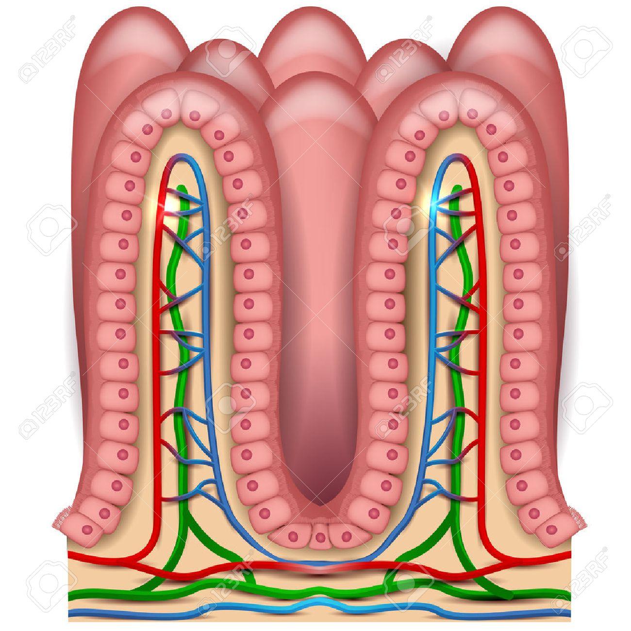 Anatomía Intestinal Vellosidades, Revestimiento Del Intestino ...
