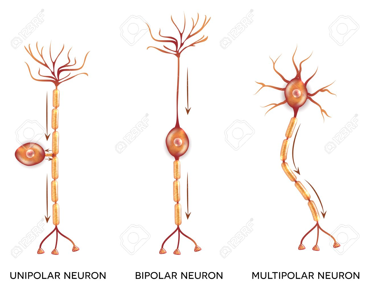 Neuron Types Nerve Cells That Is The Main Part Of The Nervous