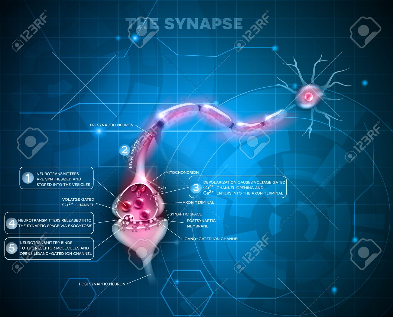 Sinapsis Se Detalla La Anatomía, Fondo Abstracto De La Tecnología ...