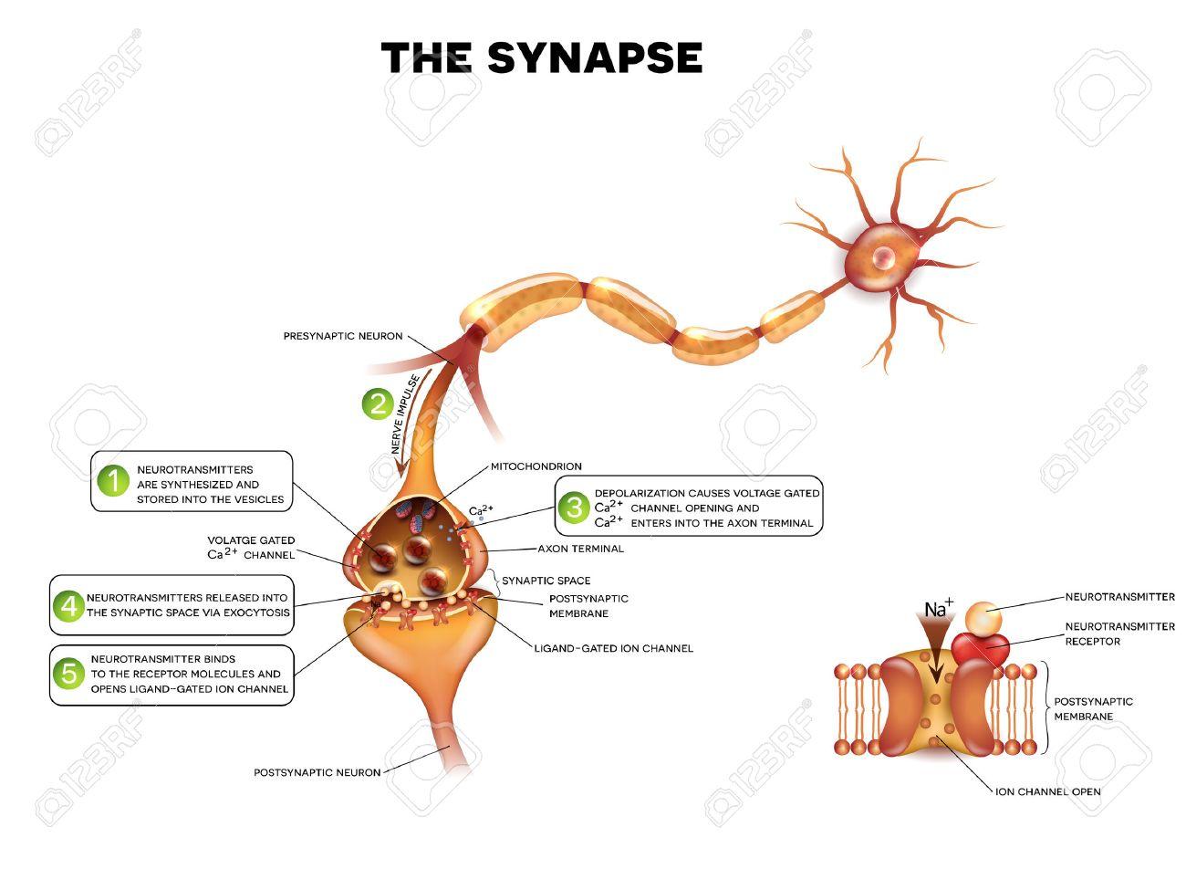 Synapse Detailed Anatomy, Beautiful Colorful Illustration. Neuron ...