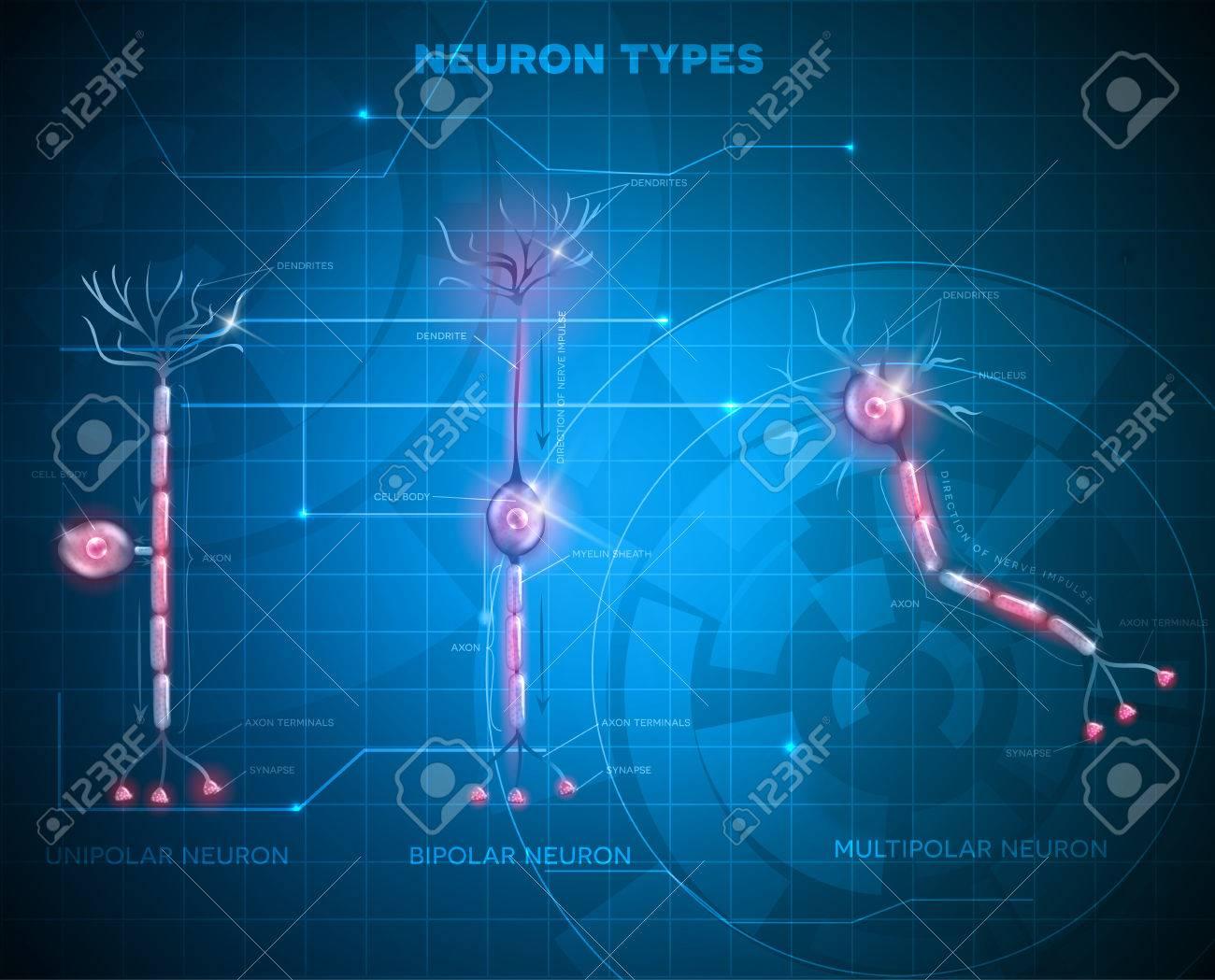 Tipos De Neuronas, Células Nerviosas Que Es La Parte Principal Del ...