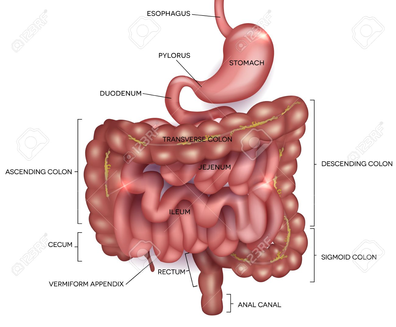 Gastrointestinal Tract Stomach Small Intestine And Colon