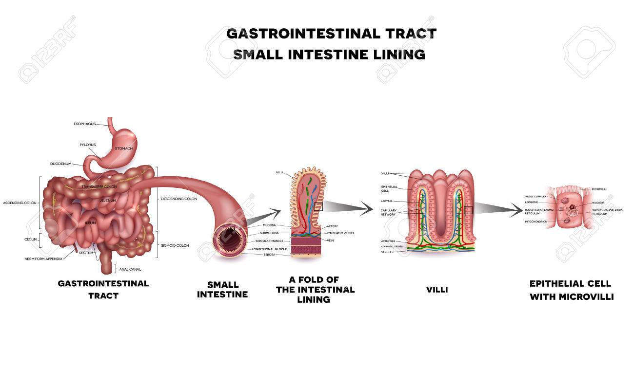 Gastrointestinal system small intestine detailed wall anatomy gastrointestinal system small intestine detailed wall anatomy small intestine villi and epithelial cell with microvilli ccuart Gallery