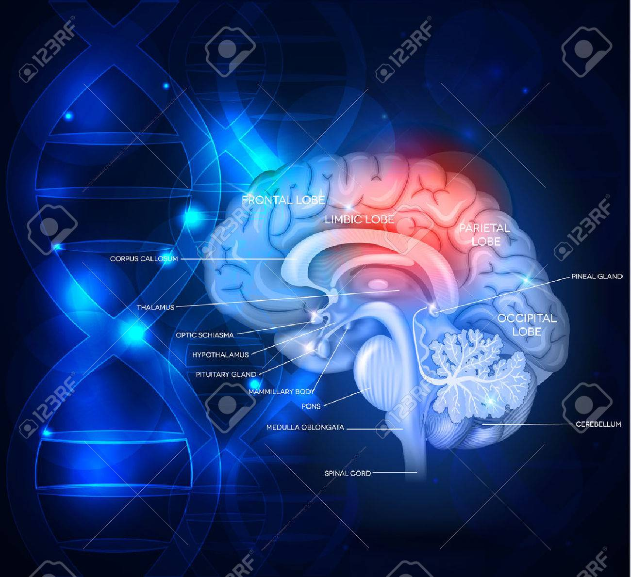Human brain abstract scientific design with DNA chain, beautiful bright deep blue color Banque d'images - 58392671