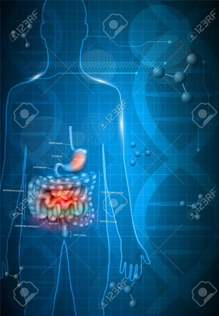 Anatomía Tracto Gastrointestinal En Un Fondo Azul Oscuro Científica ...