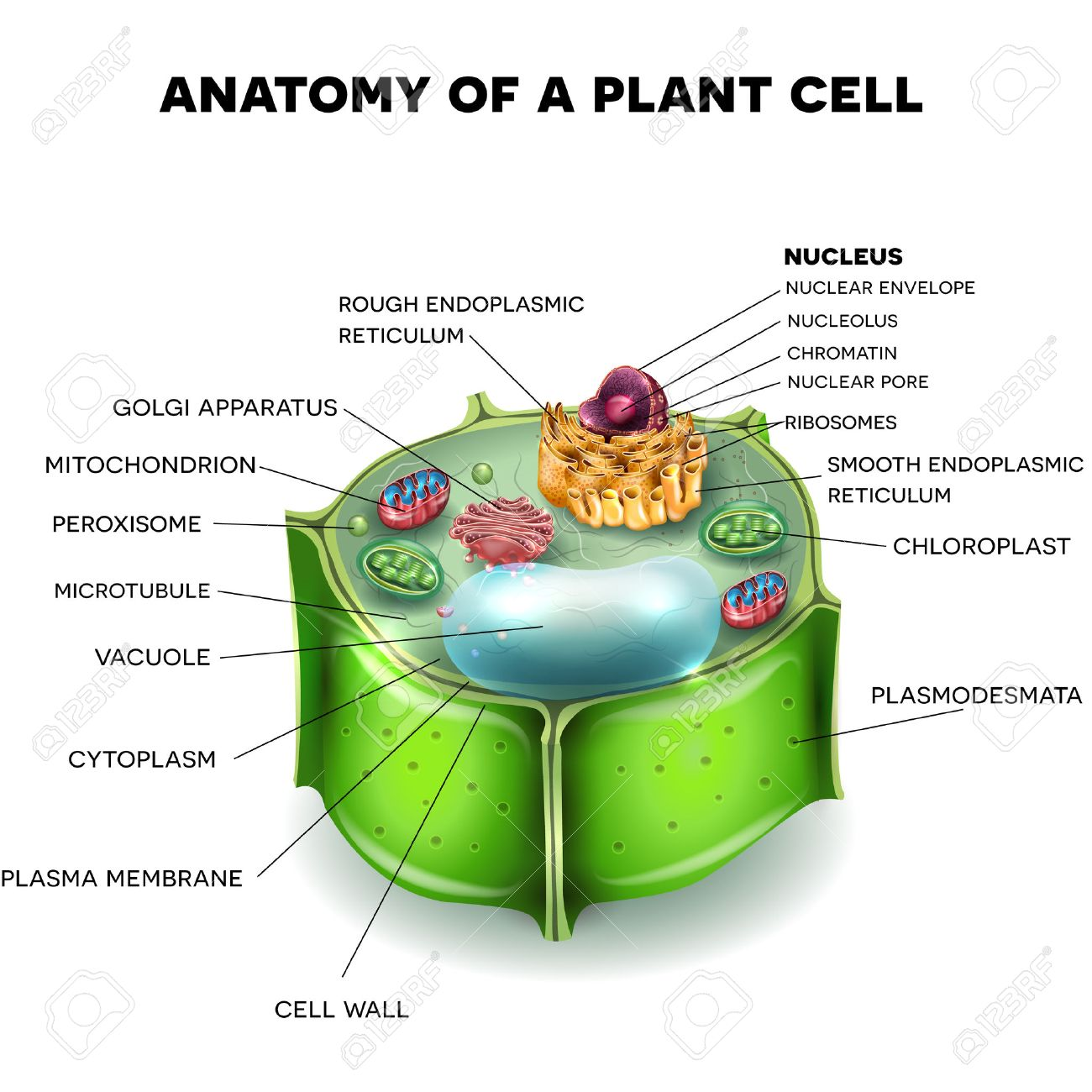 plant cell structure cross section of the cell detailed colorful rh 123rf com Labled Plant Cell Diagram Labled Plant Cell Diagram