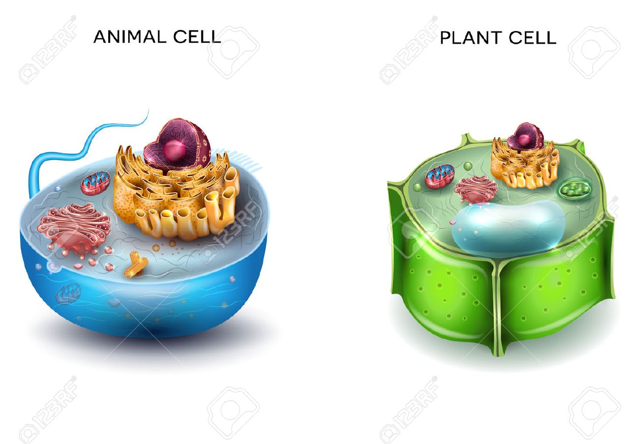 Animal Cell and Plant Cell structure, cross section detailed colorful anatomy. - 64868863