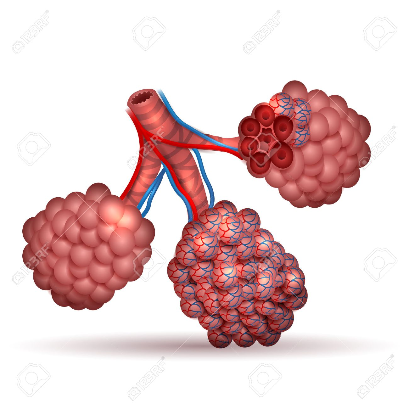 Alveoli Anatomy Tiny Air Spaces In The Lungs Through Which