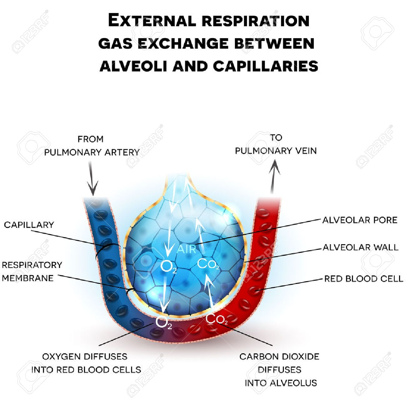 Alveoli Anatomy, External Respiration Gas Exchange Between Alveoli ...