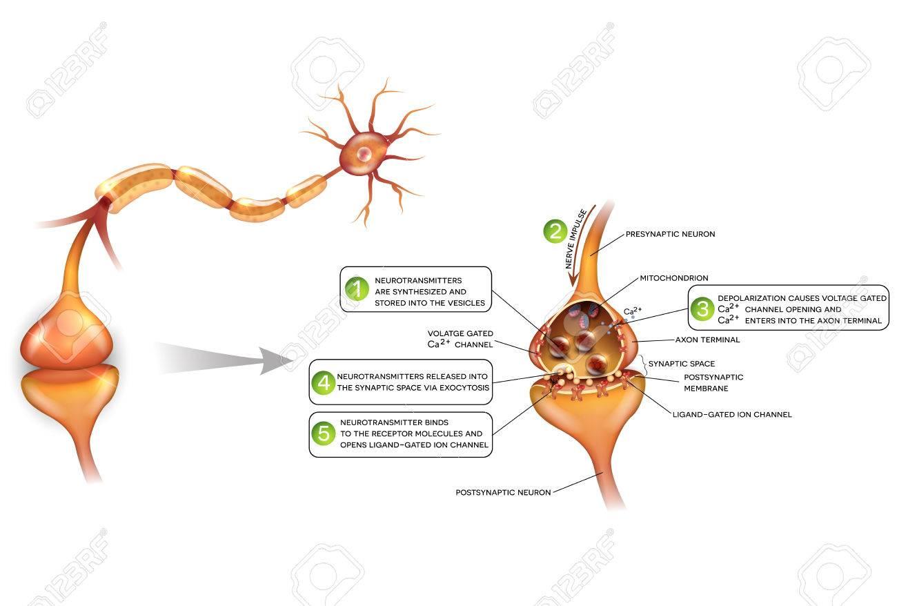 ニューロンとシナプスのクローズ アップ美しいカラフルなイラスト解剖