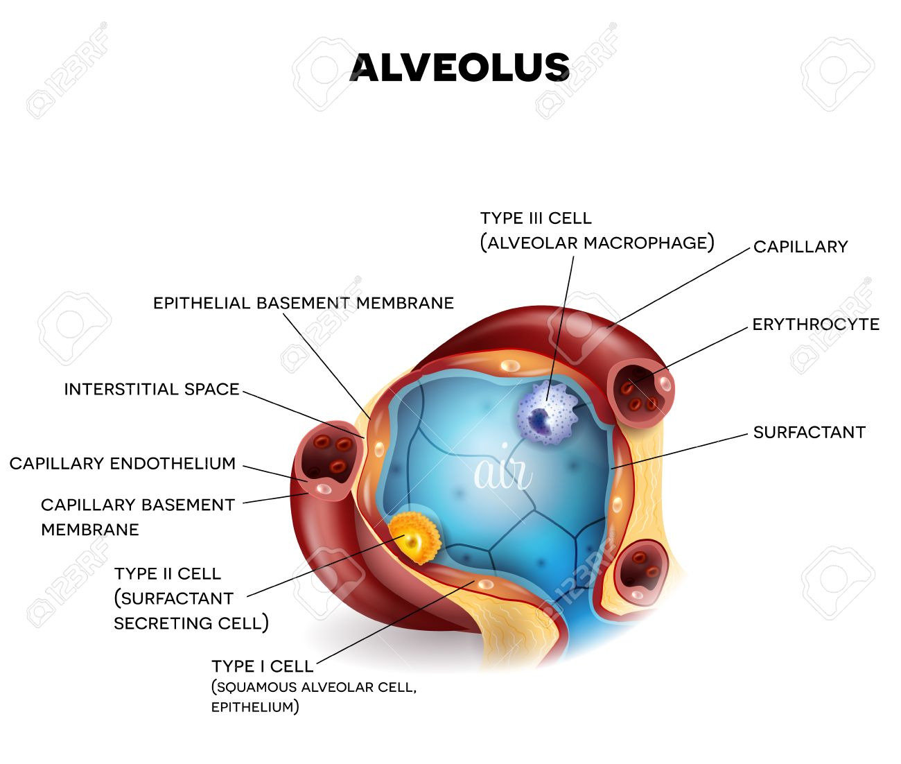 Anatomía De Cerca Alvéolo, Tres Tipos De Células Alveolares ...