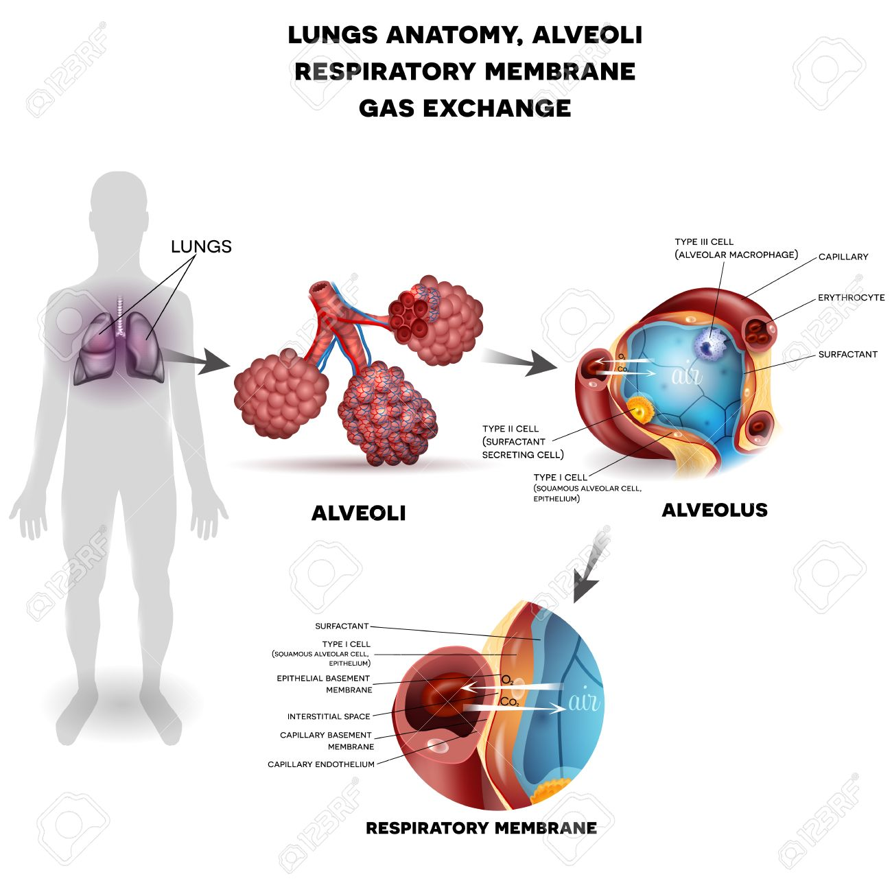 Respiratory System, Lungs And Alveoli. Respiratory Membrane Of ...