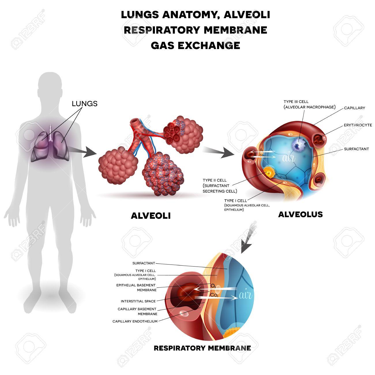 Sistema Respiratorio, Pulmones Y Alvéolos. Membrana Respiratoria Del ...