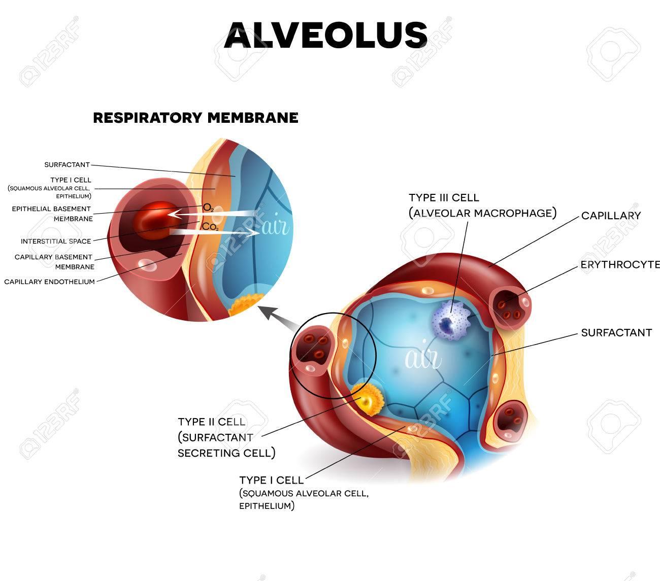 Anatomía Alvéolo Y La Membrana Respiratoria De Los Alvéolos, El ...