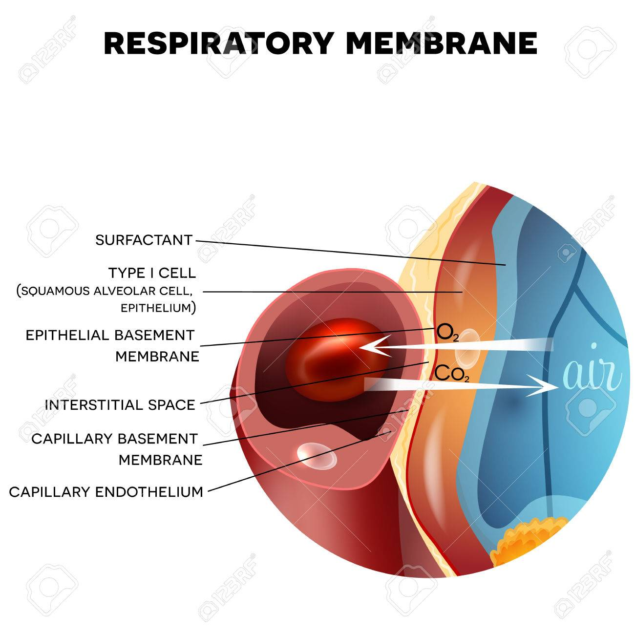 Respiratory Membrane Of Alveolus Closeup, Detailed Anatomy, Oxygen ...